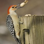 red-bellied-woodpecker-melanerpes-carolinus