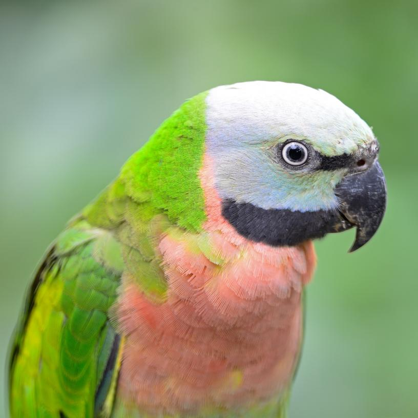 red-breasted-parakeet