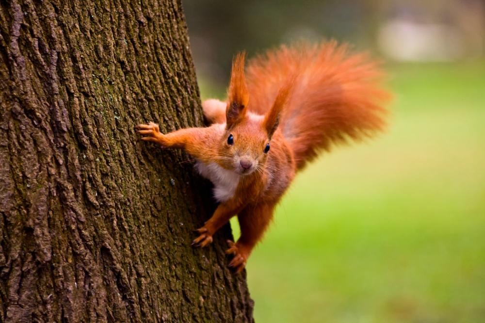 red-eurasian-squirrel