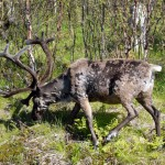 reindeer-in-summer-nature