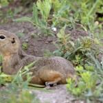 richardson-ground-squirrel-resting-near-burrow