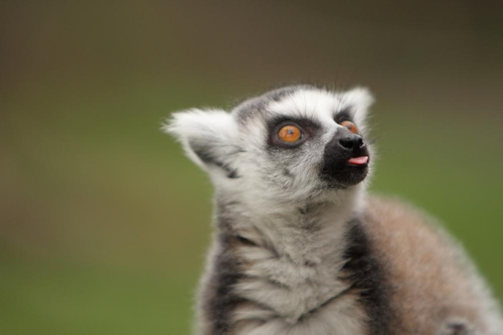 ring-tailed-lemur (1)