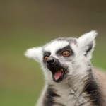 ring-tailed-lemur (3)