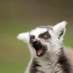 ring-tailed-lemur (3)