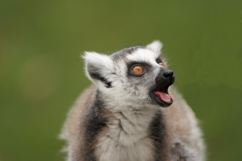 ring-tailed-lemur (4)