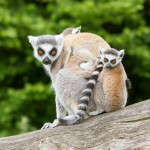 ring-tailed-lemur-in-captivity