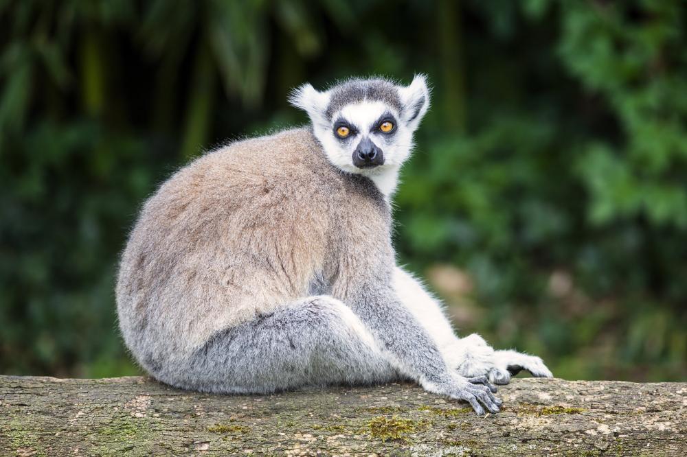 Tierpark Olderdissen Bielefeld: Affen, Bären, Elche, Rehe, Esel, Rinder, Bison, Rothirsch, Braunbär, Auerhahn, Pfau, Eulen, Wisent, Wildschweine, Hirschwild, Rotwild, Heimtiere, Wildtiere,  Öffnungszeiten, Anfahrt, Eintritt, Tiere, Restaurantring-tailed-lemur-in-forest