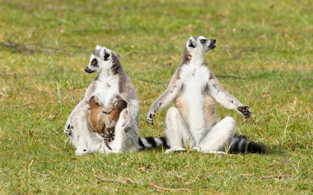 Tierpark Olderdissen Bielefeld: Affen, Bären, Elche, Rehe, Esel, Rinder, Bison, Rothirsch, Braunbär, Auerhahn, Pfau, Eulen, Wisent, Wildschweine, Hirschwild, Rotwild, Heimtiere, Wildtiere,  Öffnungszeiten, Anfahrt, Eintritt, Tiere, Restaurantring-tailed-lemur-lemur-catta (1)