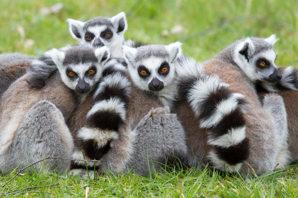 ring-tailed-lemur-lemur-catta