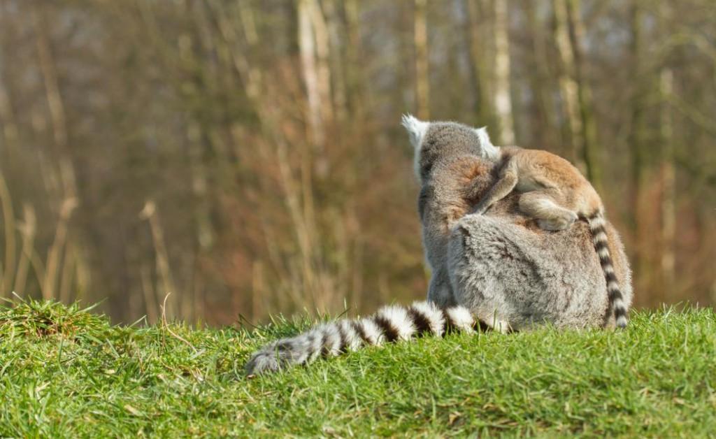 ring-tailed-lemur-lemur-catta