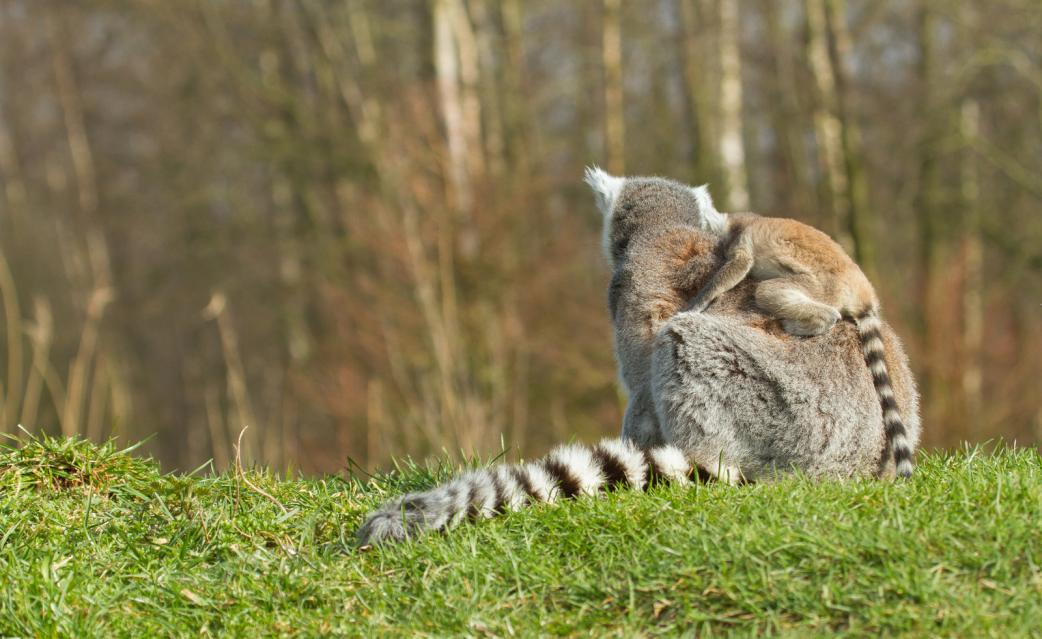 Tierpark Olderdissen Bielefeld: Affen, Bären, Elche, Rehe, Esel, Rinder, Bison, Rothirsch, Braunbär, Auerhahn, Pfau, Eulen, Wisent, Wildschweine, Hirschwild, Rotwild, Heimtiere, Wildtiere,  Öffnungszeiten, Anfahrt, Eintritt, Tiere, Restaurantring-tailed-lemur-lemur-catta