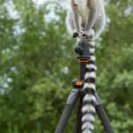 ring-tailed-lemur-sitting-on-tripod (1)