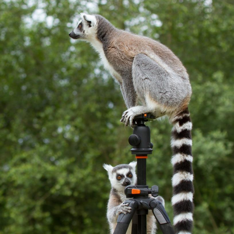 Tierpark Olderdissen Bielefeld: Affen, Bären, Elche, Rehe, Esel, Rinder, Bison, Rothirsch, Braunbär, Auerhahn, Pfau, Eulen, Wisent, Wildschweine, Hirschwild, Rotwild, Heimtiere, Wildtiere,  Öffnungszeiten, Anfahrt, Eintritt, Tiere, Restaurantring-tailed-lemur-sitting-on-tripod
