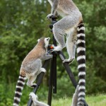 ring-tailed-lemurs-sitting-on-tripod