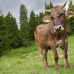 romanian-traditional-cow