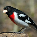 rose-breasted-grosbeak-male