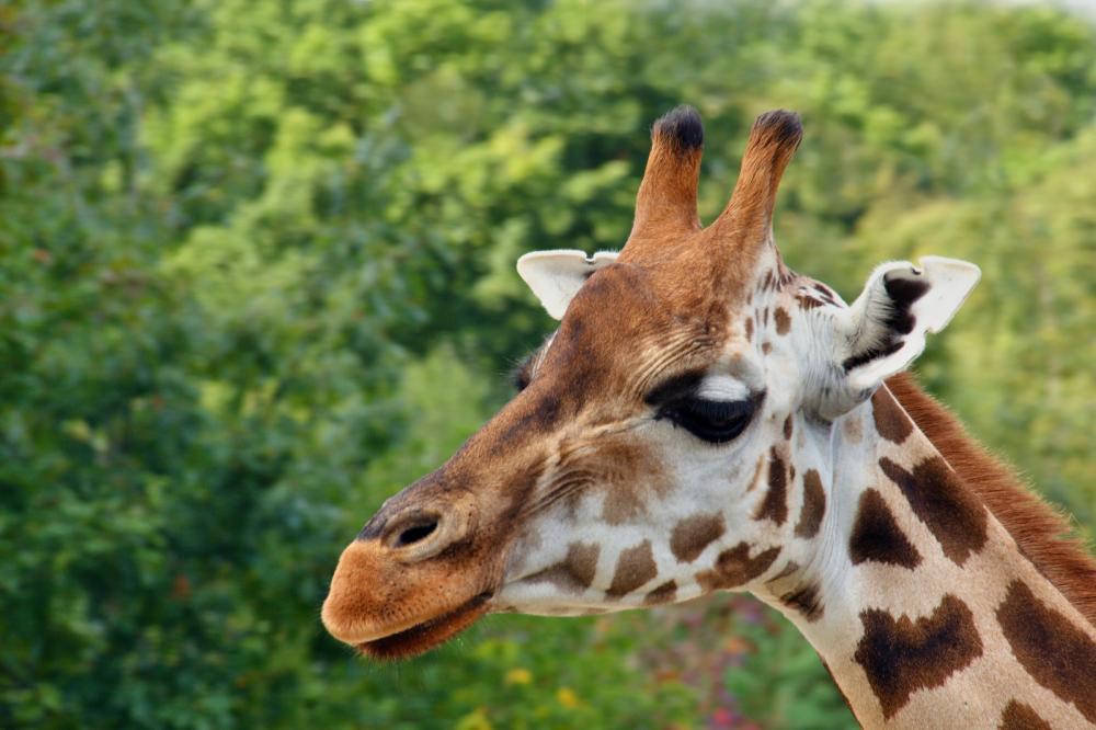 Tierpark Olderdissen Bielefeld: Affen, Bären, Elche, Rehe, Esel, Rinder, Bison, Rothirsch, Braunbär, Auerhahn, Pfau, Eulen, Wisent, Wildschweine, Hirschwild, Rotwild, Heimtiere, Wildtiere,  Öffnungszeiten, Anfahrt, Eintritt, Tiere, Restaurantrothschild-giraffes