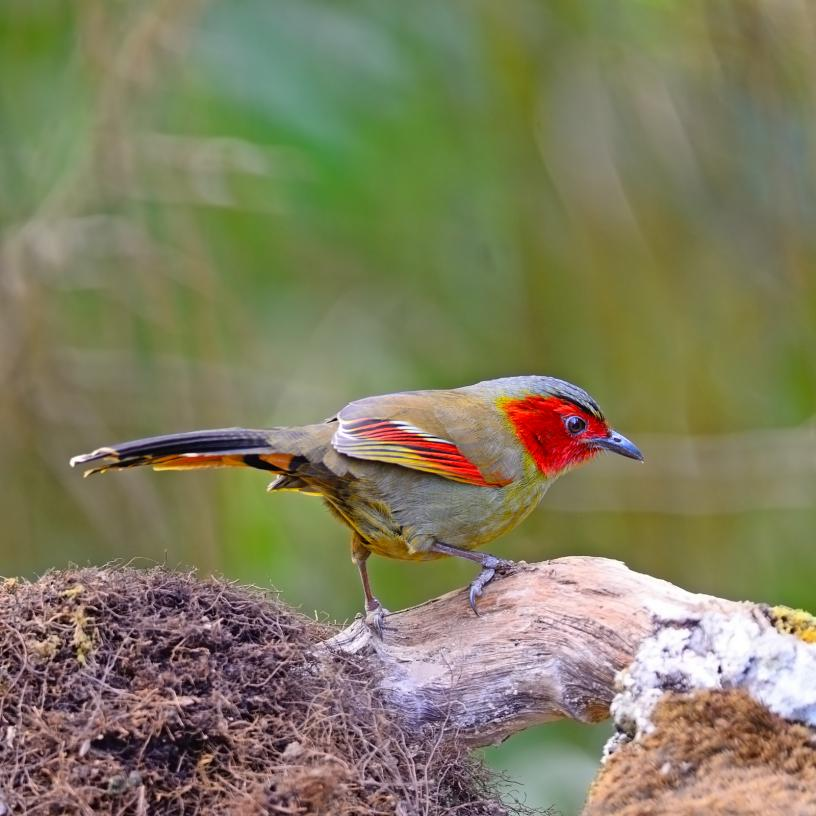 scarlet-faced-liocichla