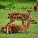 sika-deer