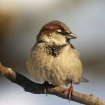 sparrow-bird-on-the-twig
