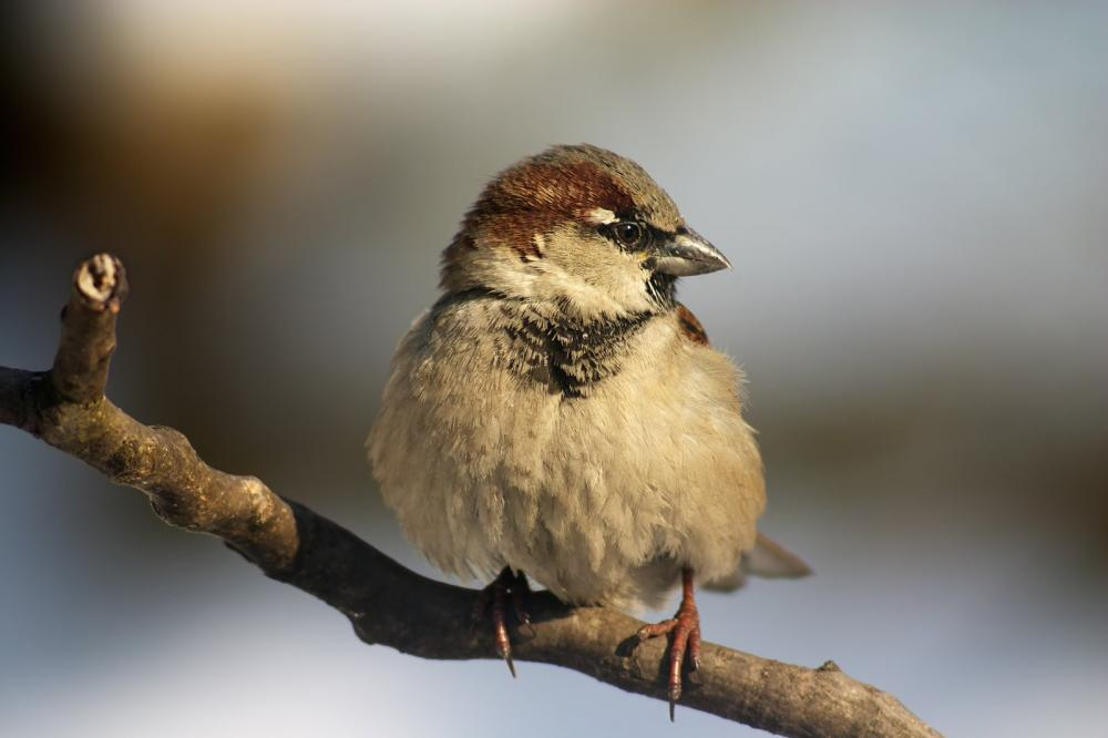 sparrow-bird-on-the-twig