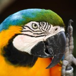 speaking-parrot-closeup (1)