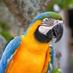 speaking-parrot-closeup