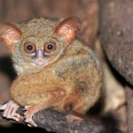 spectral-tarsier