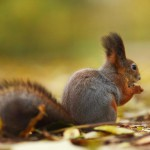 squirrel-in-autumn-forest