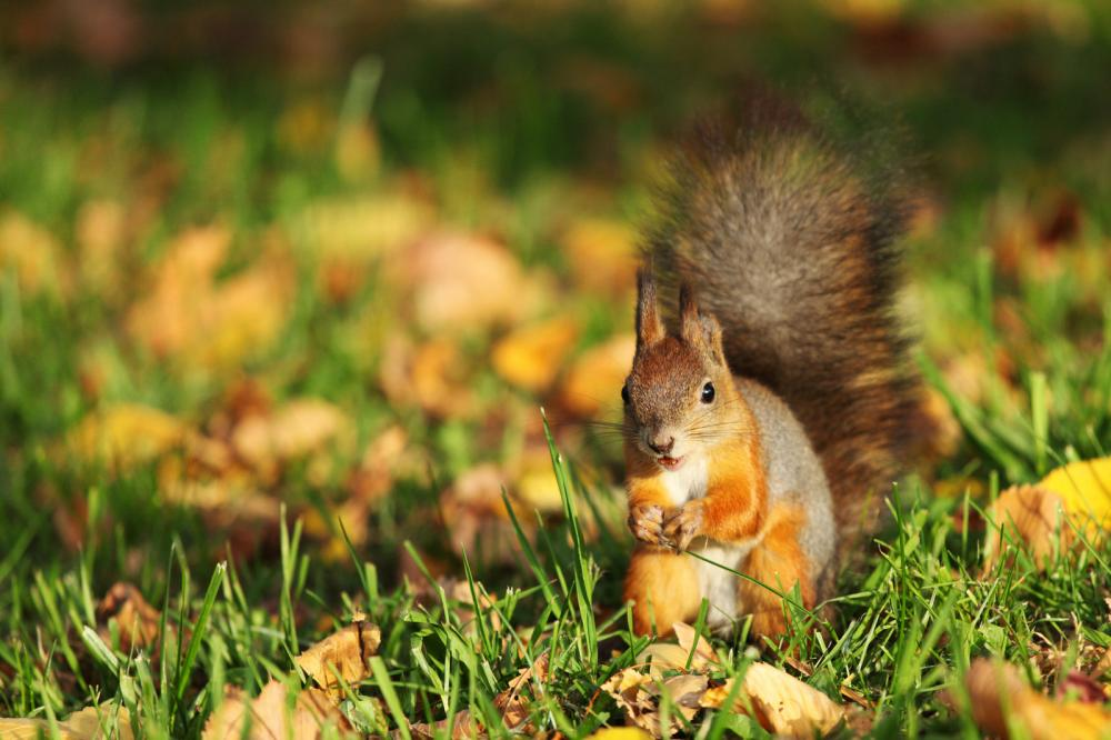 squirrel-in-the-autumn-forest (1)