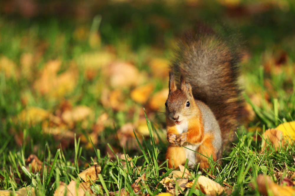 Tierpark Olderdissen Bielefeld: Affen, Bären, Elche, Rehe, Esel, Rinder, Bison, Rothirsch, Braunbär, Auerhahn, Pfau, Eulen, Wisent, Wildschweine, Hirschwild, Rotwild, Heimtiere, Wildtiere,  Öffnungszeiten, Anfahrt, Eintritt, Tiere, Restaurantsquirrel-in-the-autumn-forest (1)