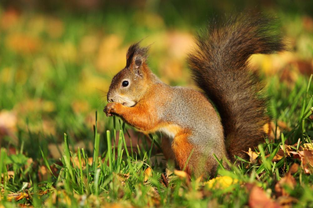 Tierpark Olderdissen Bielefeld: Affen, Bären, Elche, Rehe, Esel, Rinder, Bison, Rothirsch, Braunbär, Auerhahn, Pfau, Eulen, Wisent, Wildschweine, Hirschwild, Rotwild, Heimtiere, Wildtiere,  Öffnungszeiten, Anfahrt, Eintritt, Tiere, Restaurantsquirrel-in-the-autumn-forest