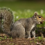 squirrel-with-nut-in-mouth