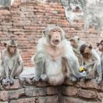 thai-asian-wild-monkey-doing-various-activities