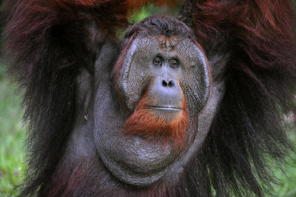 the-adult-male-of-the-orangutan (1)