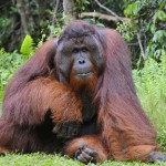 the-adult-male-of-the-orangutan