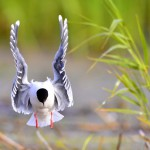 the-front-of-black-headed-gull-larus-ridibundus-flying
