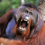 the-male-of-the-orangutan-grimaces-and-yawns