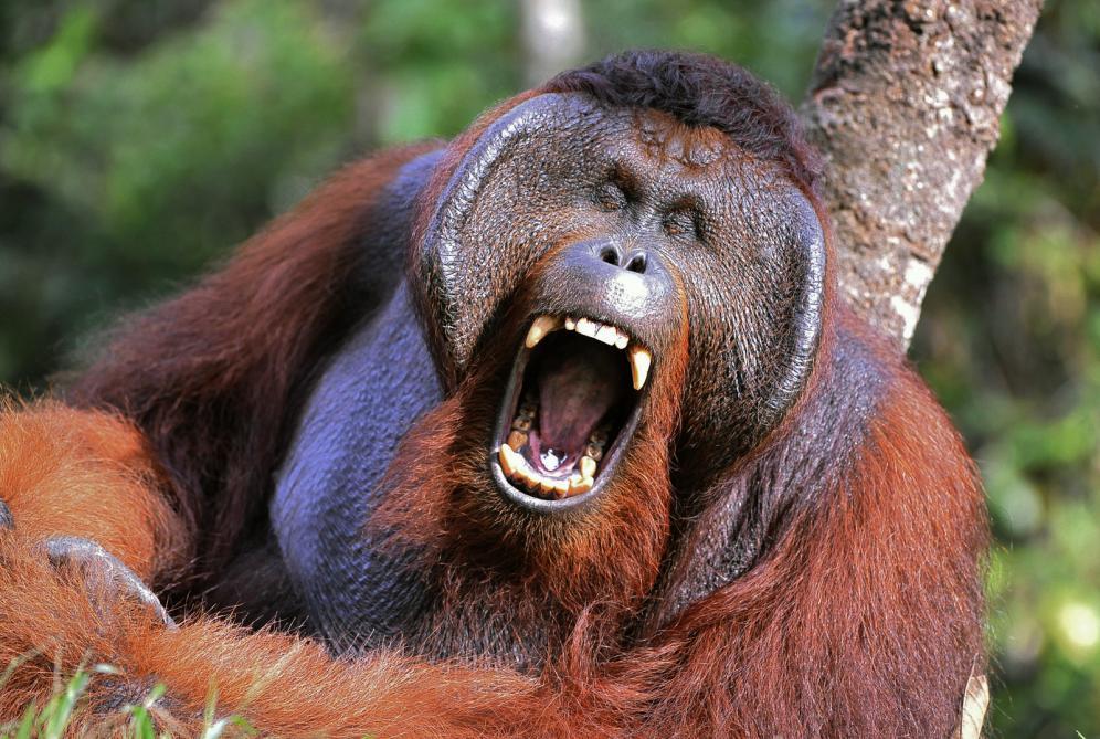 Tierpark Olderdissen Bielefeld: Affen, Bären, Elche, Rehe, Esel, Rinder, Bison, Rothirsch, Braunbär, Auerhahn, Pfau, Eulen, Wisent, Wildschweine, Hirschwild, Rotwild, Heimtiere, Wildtiere,  Öffnungszeiten, Anfahrt, Eintritt, Tiere, Restaurantthe-male-of-the-orangutan-grimaces-and-yawns