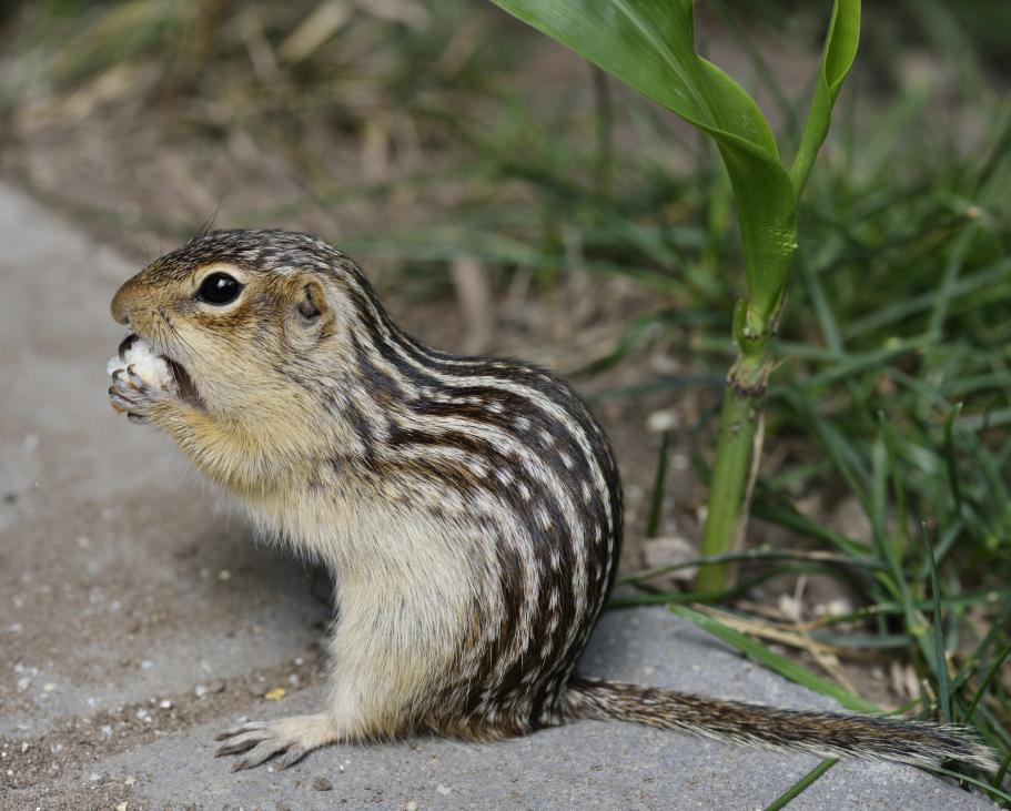 thirteen-lined-ground-squirrel