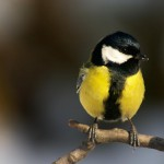 titmouse-bird