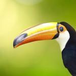 toucan-bird