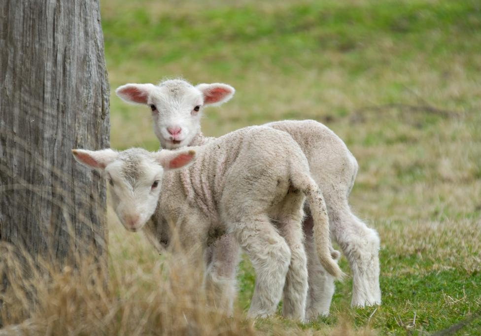 two-cute-lambs