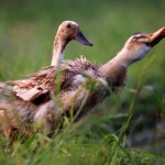 two-ducks-in-grass-field