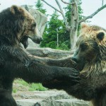 two-grizzly-brown-bears-fight (1)