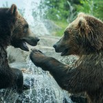 two-grizzly-brown-bears-fight (2)