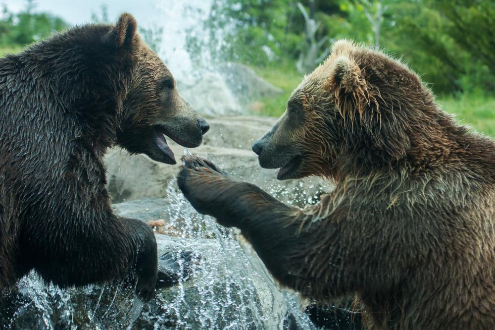 Tierpark Olderdissen Bielefeld: Affen, Bären, Elche, Rehe, Esel, Rinder, Bison, Rothirsch, Braunbär, Auerhahn, Pfau, Eulen, Wisent, Wildschweine, Hirschwild, Rotwild, Heimtiere, Wildtiere,  Öffnungszeiten, Anfahrt, Eintritt, Tiere, Restauranttwo-grizzly-brown-bears-fight (2)