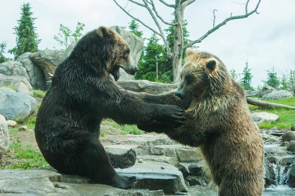 two-grizzly-brown-bears-fight (3)