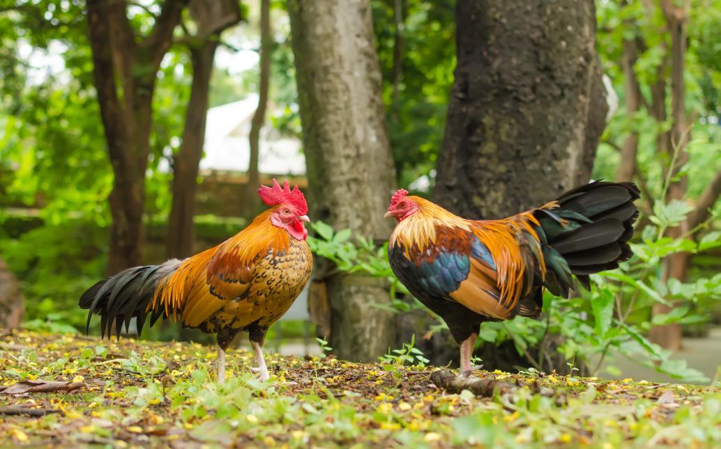 Tierpark Olderdissen Bielefeld: Affen, Bären, Elche, Rehe, Esel, Rinder, Bison, Rothirsch, Braunbär, Auerhahn, Pfau, Eulen, Wisent, Wildschweine, Hirschwild, Rotwild, Heimtiere, Wildtiere,  Öffnungszeiten, Anfahrt, Eintritt, Tiere, Restauranttwo-jungle-chicken-at-the-garden (1)
