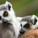 two-ring-tailed-lemurs-lemur-catta